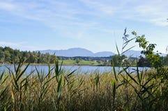 Reed am Ufer von einem See Stockfotografie