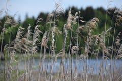 Reed in un lago Immagini Stock
