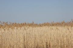Reed und blauer Himmel stockbilder