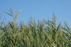 Reed und blauer Himmel stockfotografie