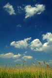 Reed under blue sky. Reed under a beautiful blue sky with white clouds Royalty Free Stock Photo