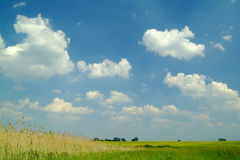 Reed under blue sky. Reed under a beautiful blue sky with white clouds Stock Image