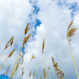 Reed under cloudy sky Royalty Free Stock Image