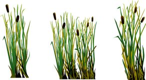 Reed vector image. Water grass reeds vector illustration on a white background, a group of several images Stock Photo