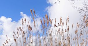 Reed vegetation moved by wind blue sky with clouds. Reed vegetation with nice brown tips moved by wind. On a windy day with blue sky and clouds in The stock footage