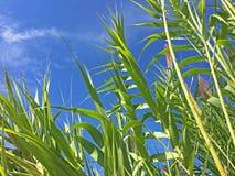 Reed vor einem blauen Himmel Stockfotografie