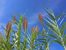 Reed vor einem blauen Himmel Stockbilder