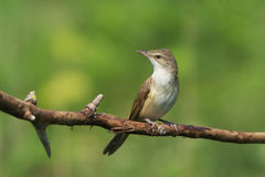 Reed Warbler Stock Photography