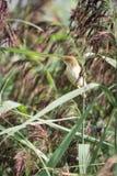 Reed Warbler Stockbild