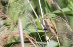 Reed Warbler Stockfoto