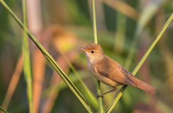 Reed Warbler Stockfotos