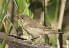 Reed Warbler Photos stock