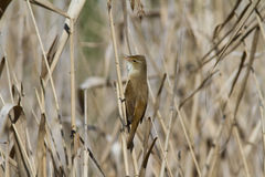 Reed Warbler Imagem de Stock