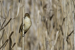 Reed Warbler Fotografia de Stock