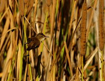 Reed Warbler Royalty-vrije Stock Foto