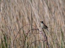 Reed Warbler Acrocephalus-scirpaceus Stockfotos