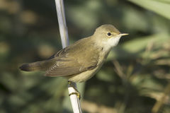 Reed warbler  / Acrocephalus scirpaceus Royalty Free Stock Photo