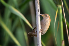 Reed Warbler Stock Images