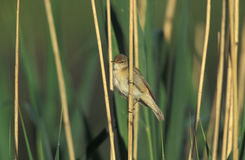 Reed warbler, Acrocephalus scirpaceus, Stock Images