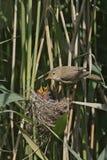 Reed warbler, Acrocephalus scirpaceus, Stock Image