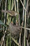 Reed warbler, Acrocephalus scirpaceus, Stock Photos