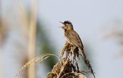 Reed warbler, Acrocephalus scirpaceus, Royalty Free Stock Image