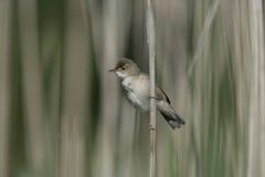 Reed warbler, Acrocephalus scirpaceus Stock Photo