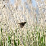 Reed Warbler Royalty Free Stock Photos