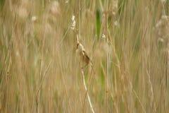 Reed Warbler Stock Image