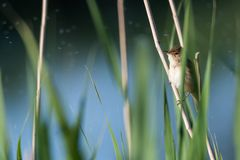 Reed Warbler caché photo stock