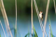 Reed Warbler chanteur dans l'habitat naturel photographie stock libre de droits
