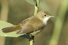 Reed warbler close-up / Acrocephalus scirpaceus Stock Photography