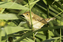 Reed warbler close-up / Acrocephalus scirpaceus Royalty Free Stock Photos