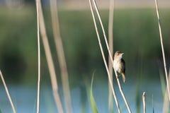 Reed Warbler dans son habitat naturel photographie stock libre de droits