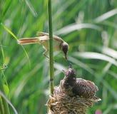Reed warbler feed  turtledove birdling Royalty Free Stock Image