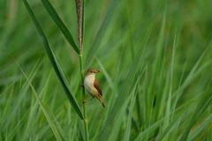 Reed warbler with food in beak Stock Image