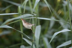 Reed warbler holding on tight. Photograph of a reed warbler gripping on reed Stock Image