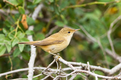 Reed warbler immature  Acrocephalus scirpaceus Royalty Free Stock Photography