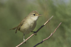 Reed warbler immature close-up Acrocephalus scirpaceus Royalty Free Stock Photography
