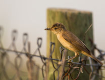 Reed warbler with insects on fence Stock Photos