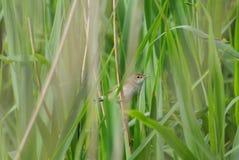 Reed Warbler Perched sur Reed dans le marécage photos stock