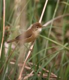 Reed Warbler Perched On Reed stock photos