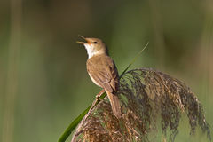 Reed Warbler On The Reed Photographie stock