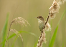 Reed warbler on a reed Royalty Free Stock Photography