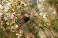 Reed warbler is in the reeds Royalty Free Stock Image