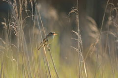 Reed warbler Royalty Free Stock Images
