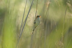Reed warbler Royalty Free Stock Image