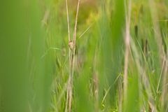 Reed warbler sits among the reeds Royalty Free Stock Photo