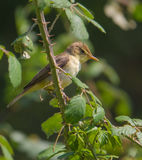 Reed Warbler on spiny branch Royalty Free Stock Photography