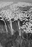 Reed in Water Monochrome Royalty Free Stock Photo